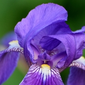 The Heart of an Iris