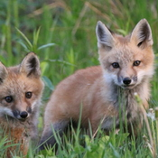 More foxes.