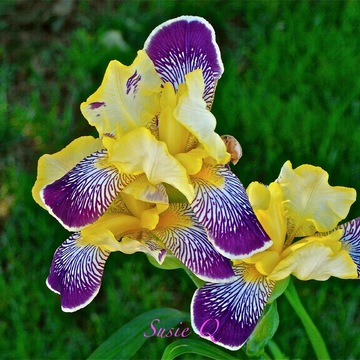 Beautiful Iris...
