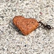 Ant pulling cat food.