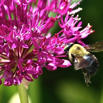 Bumble Bee in Flight.
