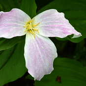 Beautiful Trilliums