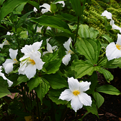More Beautiful Trilliums