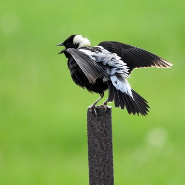 A male Bobolink calling out