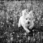 Ferris in the dandelions.