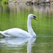 Mute (Royal White) Swans