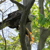 Eagle eating his catch,Turtle and backyard Turkeys