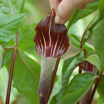 Jack-in-Pulpit