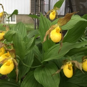 Gorgeous Lady Slippers