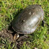 Painted Turtle Laying Eggs