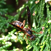 Hornet in Evergreen Bush.