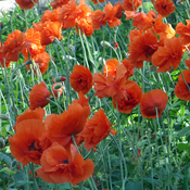 Poppies waving in the wind