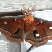 Polythemus Moth...... two on the side of our house