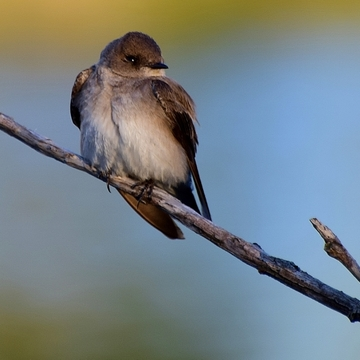 Pretty Swallow