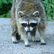 Encounter with a raccoon!