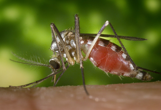 Culex Mosquitoes Are Known For Transmitting West Nile Virus And Heartworm Disease They Brown With Whitish Markings On The Abdomen