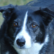 My Border Collie