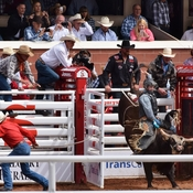 Bull riding at the Calgary Stampede