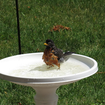 Robin taking a bath.