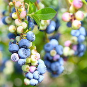 Blueberries :))