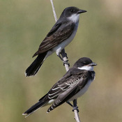 Kingbirds on the move