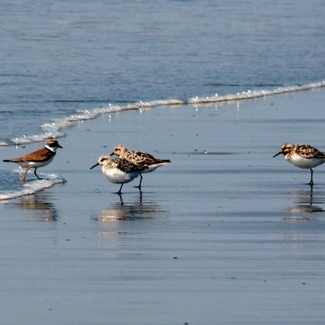 Semi Palmated Plovers