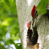 Pileated Father feeding its baby