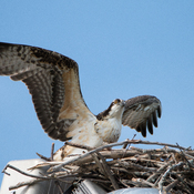 Osprey chick practices for flight
