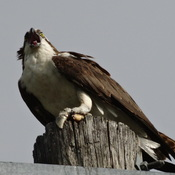 An Osprey Breakfast