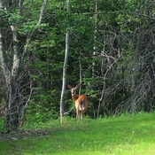 Deer on the Miramichi.