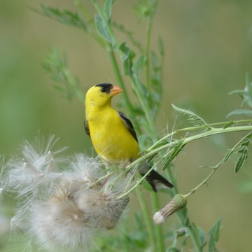 Male American Goldfinch!