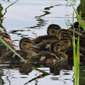 Mother Ducks & Ducklings
