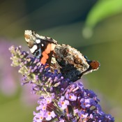 Red Admiral Butterfly!