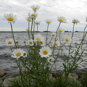 daisies on the shore