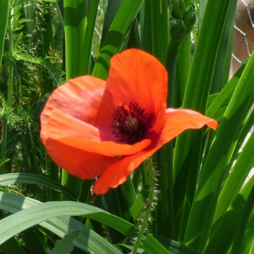 Beau coquelicot