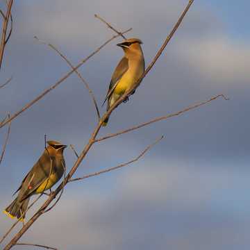 Cedar Waxwings at Sunset