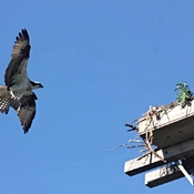 Osprey Mom