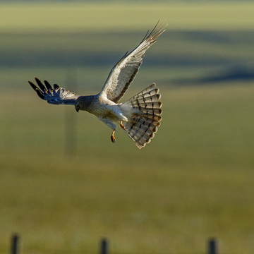 Male northern Harrier Hawk