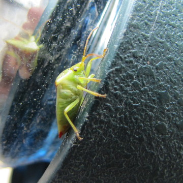 Green Insect ????