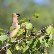 Cedar Waxwing perches on a branch