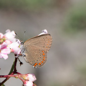 Coral Hairstreak on the Carden Alvar