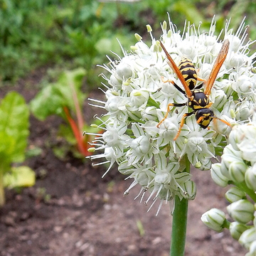 Hornet on Shallot Flower
