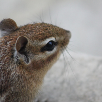 Adorable Chipmunk