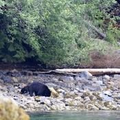 Bear Mom and cub foraging