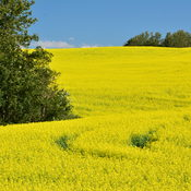 Canola in Its Glory