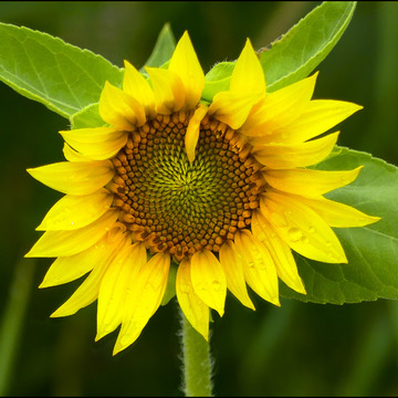 Small sunflower, Elliot Lake.