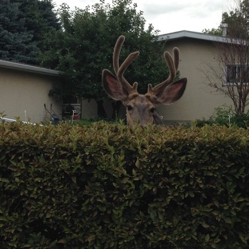 My Neighbor The Deer.