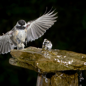 Thirsty Chickadee