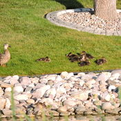 Mother Duck & Ducklings