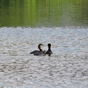 Grebes & chick